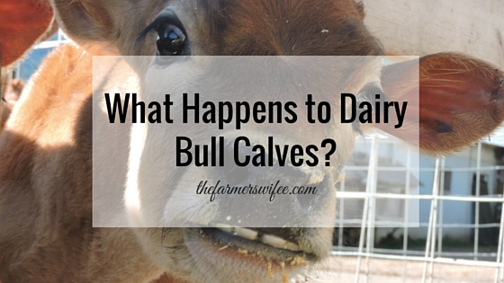 What Happens to Dairy Bull Calves?