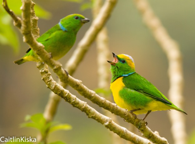 Female (L) and Male (R) Golden Browed Chlorophonia - Boquete, Panama