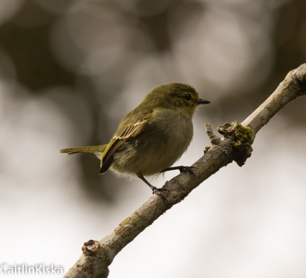 El Carajo Santander Colombia Golden Faced Tyrannulet