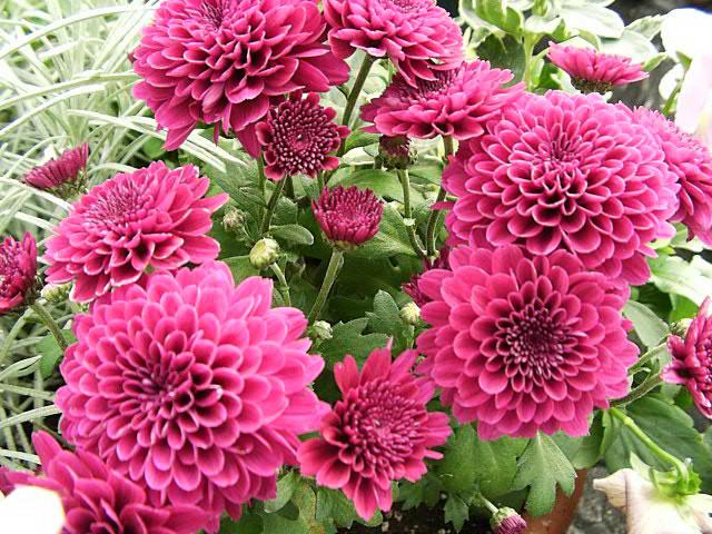 Dahlias, How To Grow And Care For Dahlia Plants - The Garden