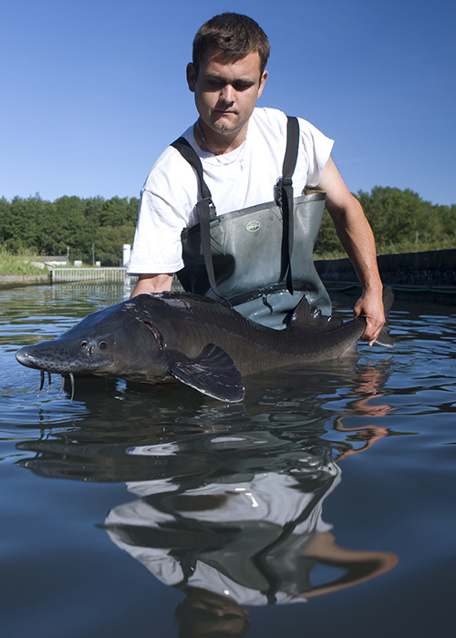 Sturgeon at Caviar Sturia's farm