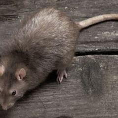 Is the plague of the 'Super-Rat' heading for Britain?