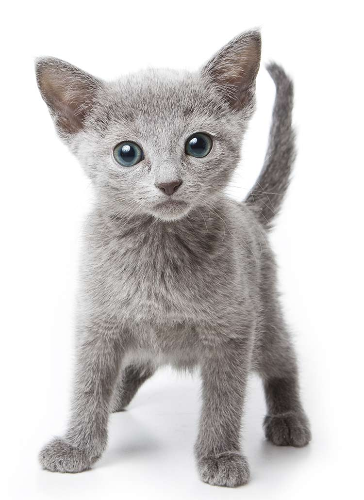 Russian Blue Cat Names - 300 Brilliant Russian Cat Name Ideas