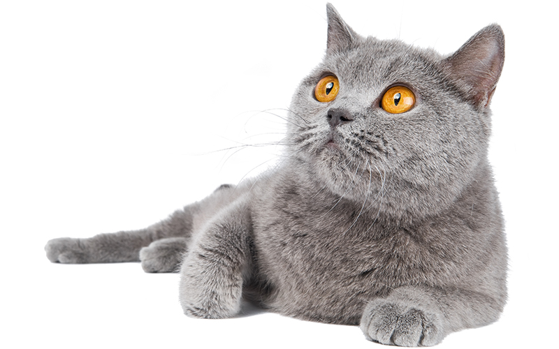 British Blue Cats - A Complete Guide by The Happy Cat Site