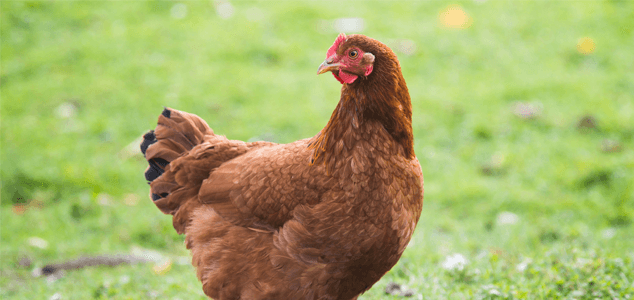 10 Breeds Of Chicken That Will Lay Lots Of Eggs For You