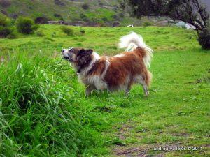 Macky the Lion Dog