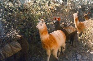 The coolest llama train I ever saw  Colca Canyonhellip