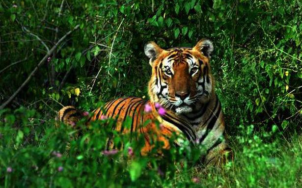 Car Audio Wallpaper Hd Tiger Mauls Forest Watcher In Nagarahole National Park