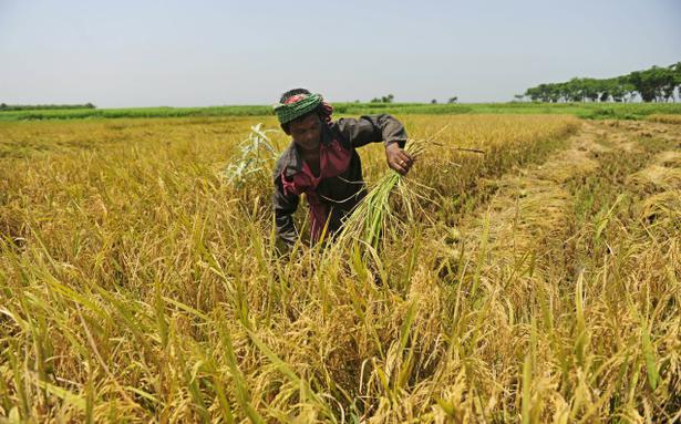 Labour Scarcity Affects Paddy Cultivation In Dakshina