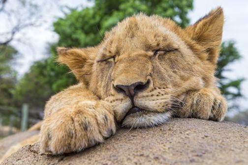 Portrait of a sleeping cub