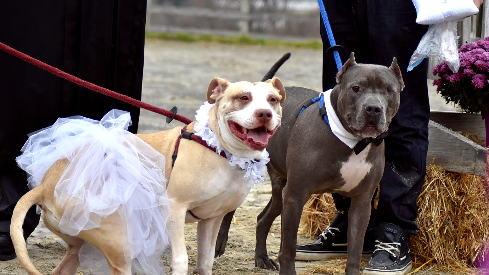 Ring Ceremony Hd Wallpaper Rescue Dogs Zeus Abbey Marry In Pit Bull Wedding Ceremony