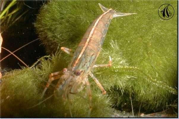 Freshwater Shrimp in the Aquarium