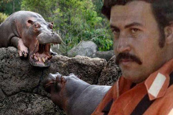 Pablo Escobar's Big Fat Curse: The Strange Affair of Hippos Terrorizing Columbia