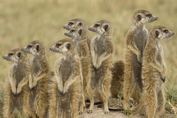 15170-meerkat_group