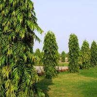 Polyalthia Longifolia, the Mast Tree