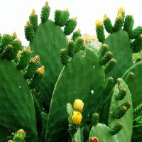 Striking Landscape Plant: Opuntia Ficus Indica, Prickly Pear