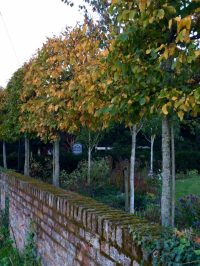 The 8 best perfect-for-privacy garden trees - The Middle ...