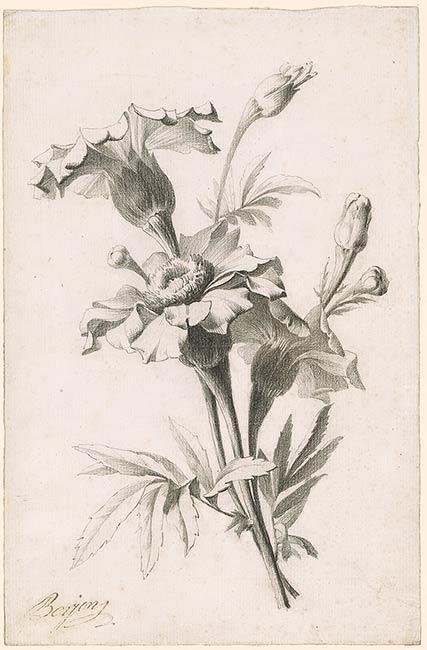 Antoine Berjon Study of a Flower Drawings Online The Morgan