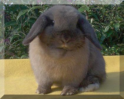Old Lady Wallpaper Cute Holland Lop Litters Of Babies Stories And Pictures Show