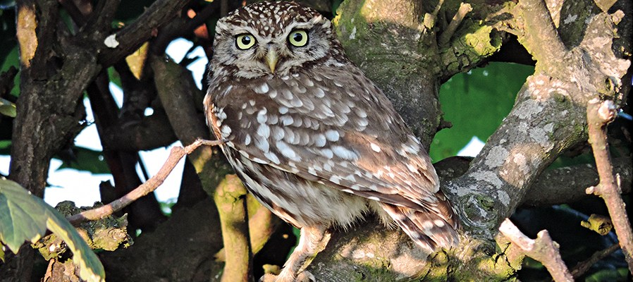 Little Owl Chevington Moor
