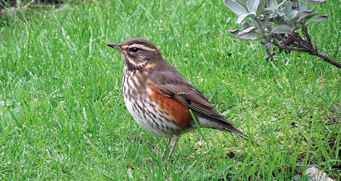 Redwing 211013a Mike S Hodgson