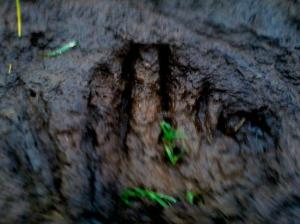 A strange footprint found near a cow mutilation in South Whidbey