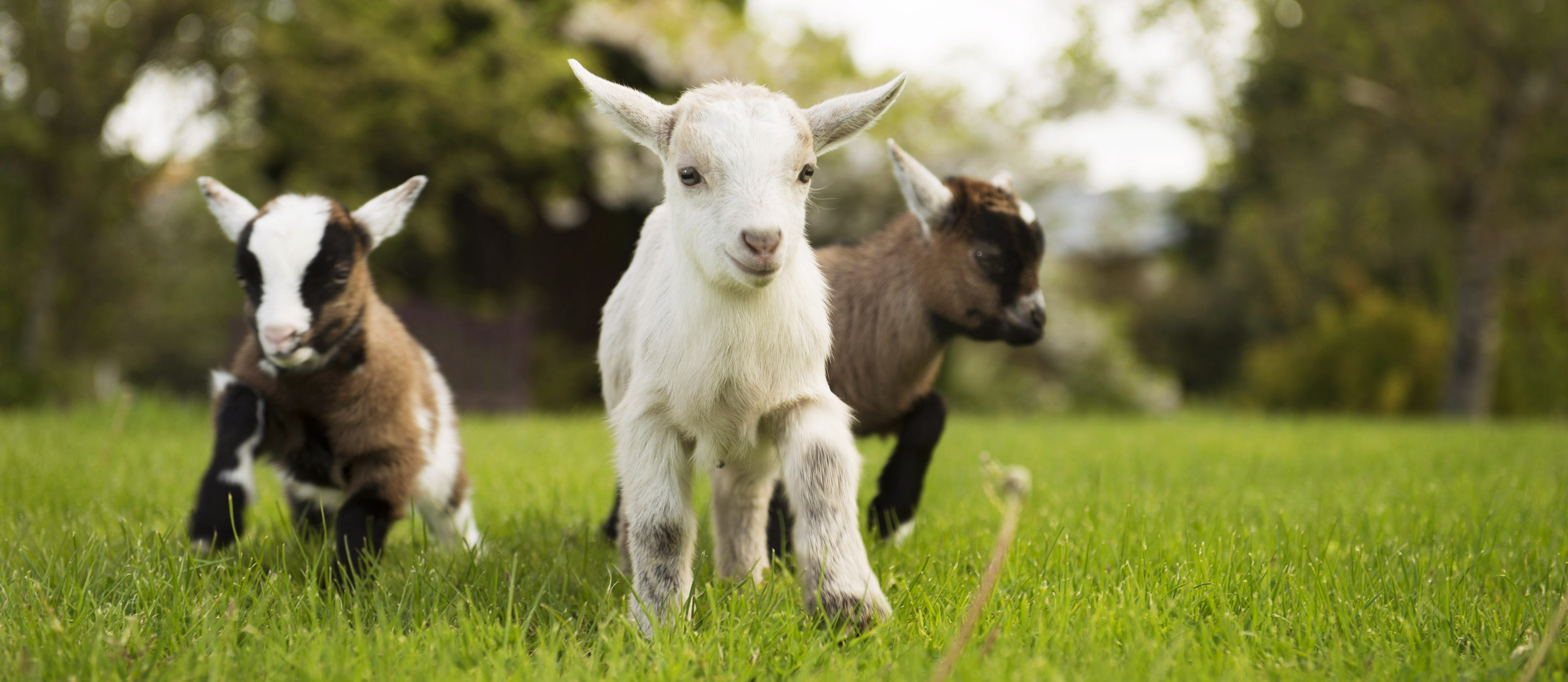 Animal Farm Wallpaper Baby Goats Born News From The Olde House The Olde House
