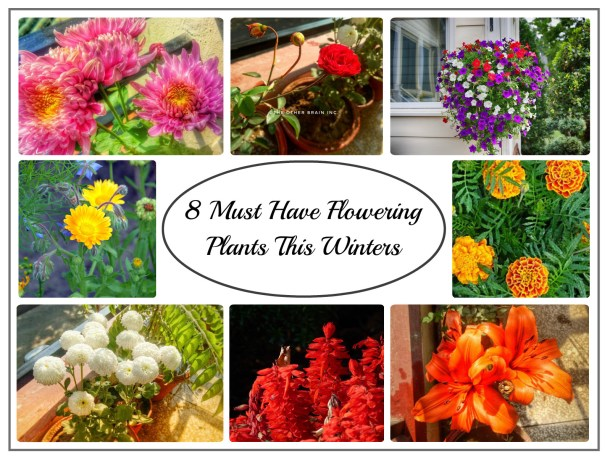 Winter flowering plants to grow in India