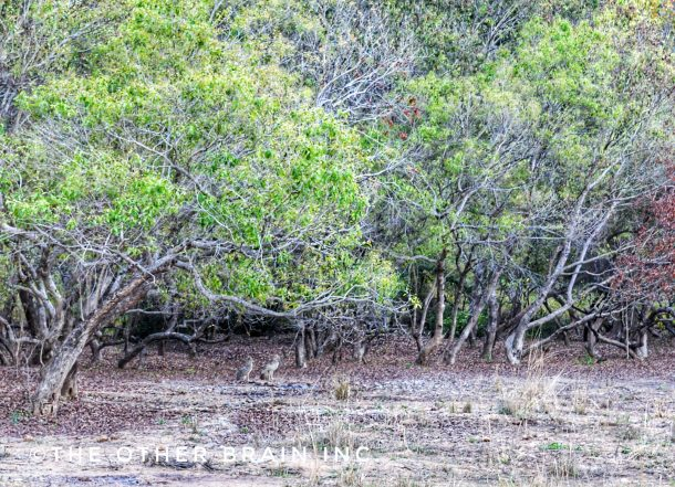 A pair of Jackal sighted during Sitabani safari, Jim Corbett area, Nainital