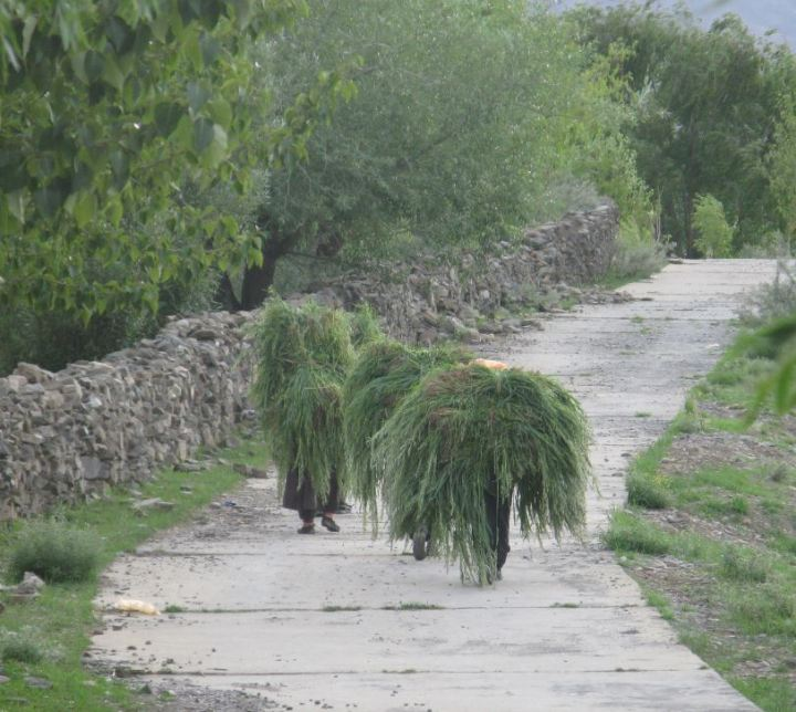Tibet grass carrying people