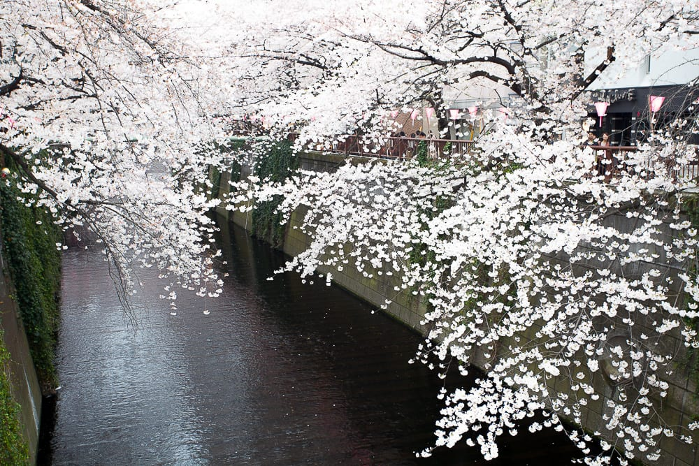 Cheap Black And White Wallpaper The Most Stunning Sakura Cherry Blossom Photos Around