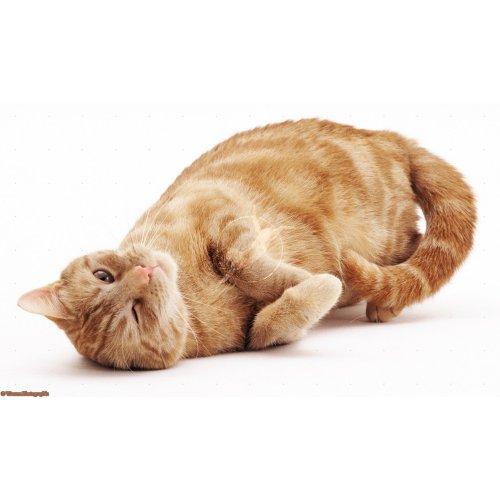 Medium Crop Of Vestibular Disease In Cats