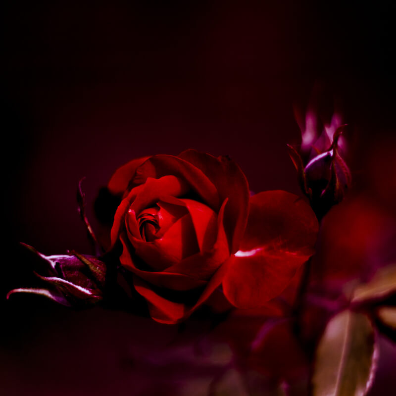 3d Love Red Heart Wallpaper The Flower Of Love 35 Beautiful Rose Photos