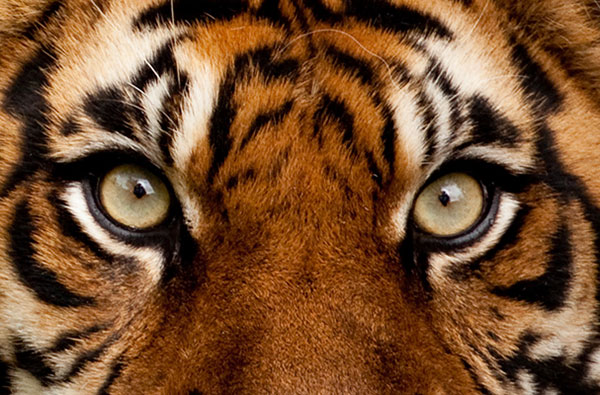 Cute Baby Ultra Hd Wallpapers Tiger Eyes