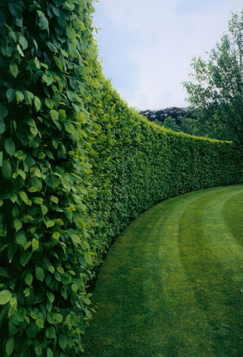 Boxwood Hedges via M Pression