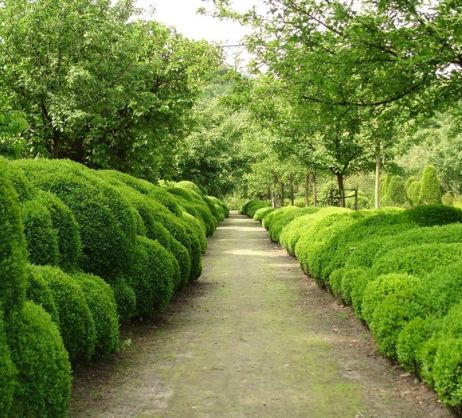 Cloud Boxwood Hedging by Belgian garden designer Jacques Wirtz's