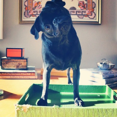 Emmie The Potted Boxwood Pug at home