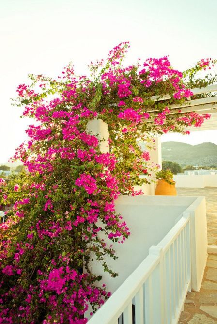 bougainvillea in greece via Conde Nast Traveler