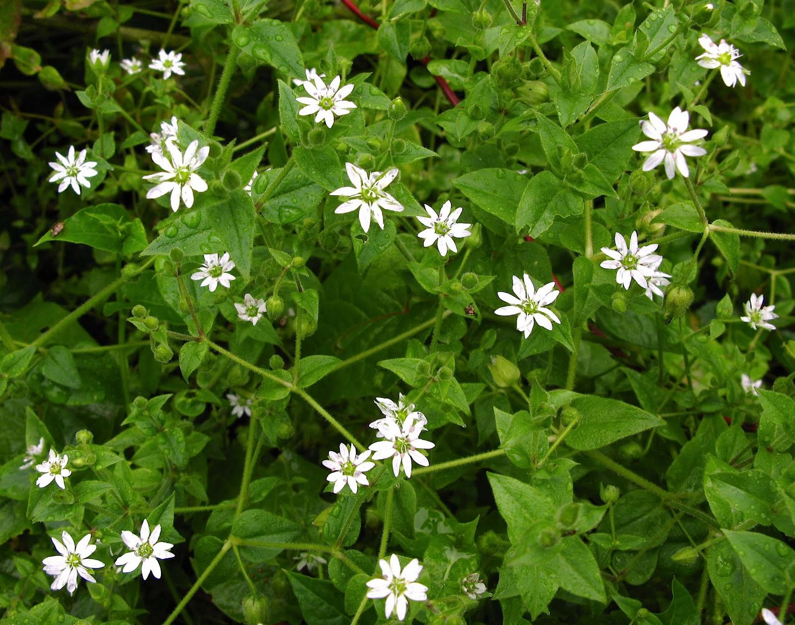 Weeds Not To Feed Chickens Chickweeds