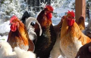 ChickensLayinWinter