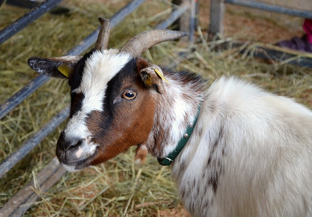 goat-516932_640