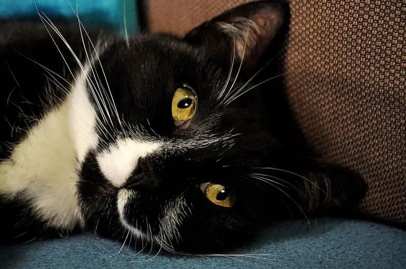 9 Reasons Tuxedo Cats Rock The Purrington Post