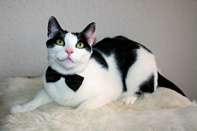 A Tribute to Tuxies and their \u0027Tuxitude\u0027 - The Purrington Post