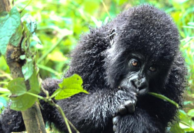 Young gorilla eating bamboo shoots rwanda - zoedawes