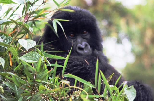 Baby mountain gorilla rwanda - zoedawes