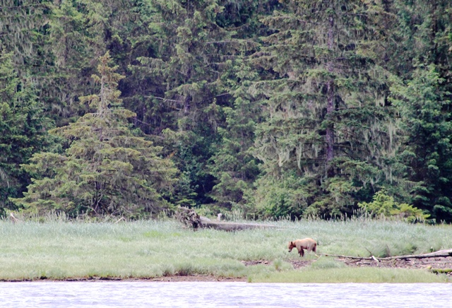 Grizzly bear Kinight Inlet - photo zoedawes