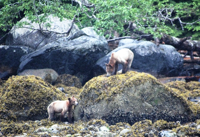 Grizzly bears Knight Inlet BC Canada - photo zoedawes