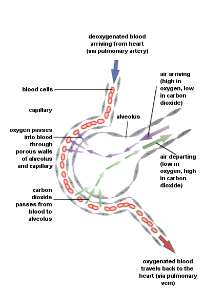 diagram of diffusion the lungs