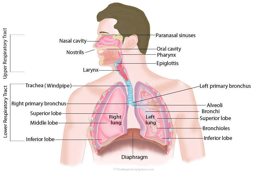 The Respiratory System -