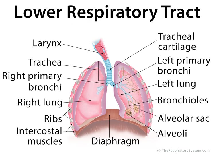 Lower Respiratory Tract Anatomy, Functions, Diagram